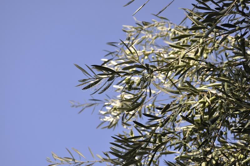 Olive branches tree against the sky royalty free stock images