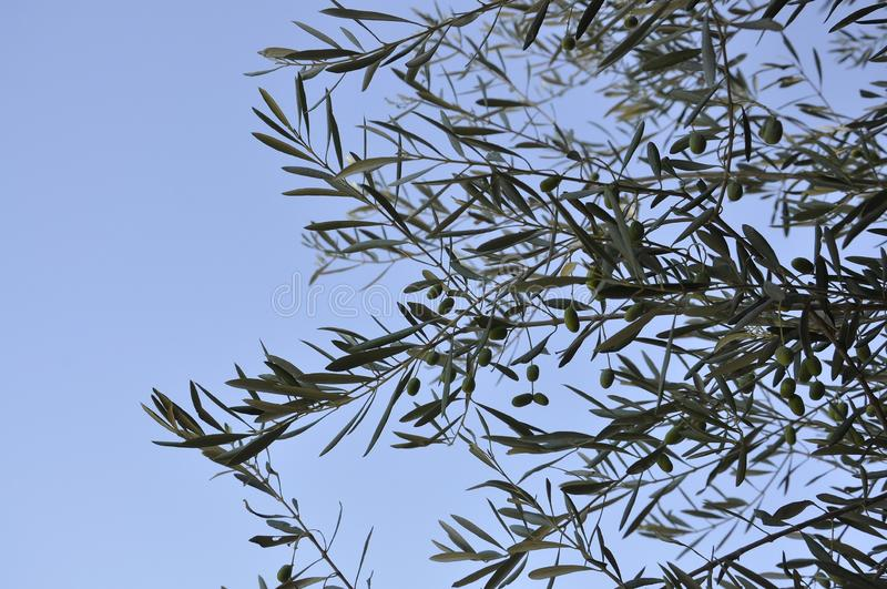 Olive branches tree against the sky stock image