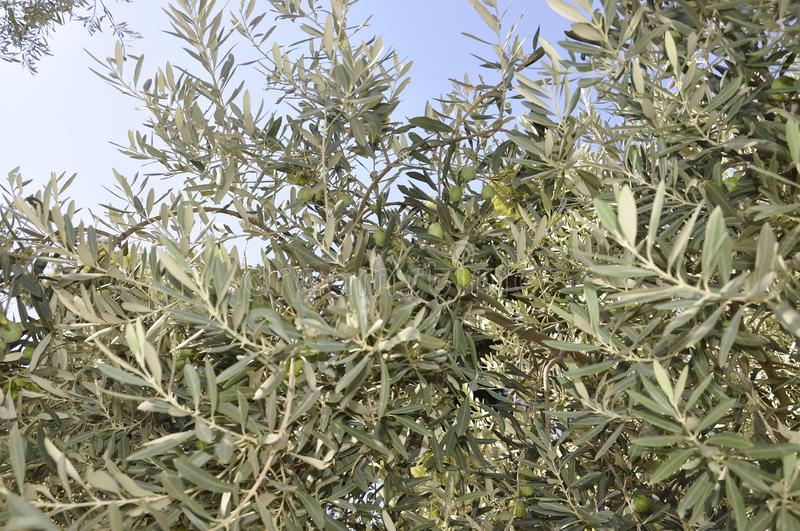 Olive branches tree against the sky stock photos