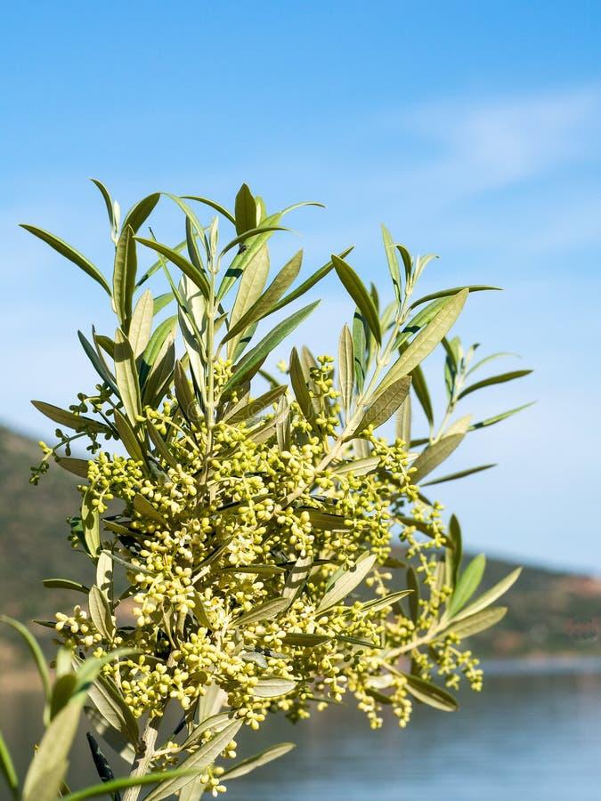 Olive Buds fleurissante photos libres de droits