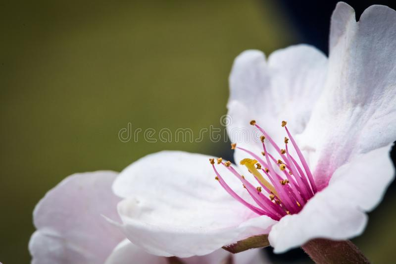 Olive Cherry Blossom photos libres de droits