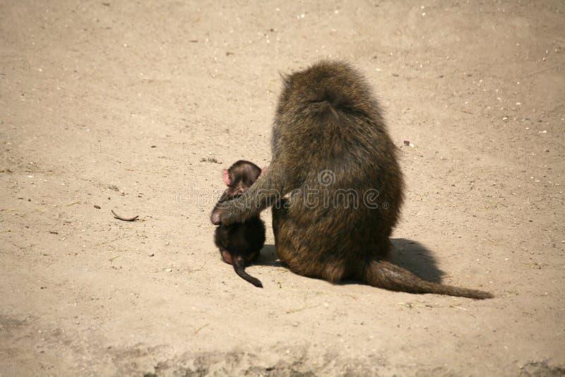 olive de babouin photographie stock libre de droits