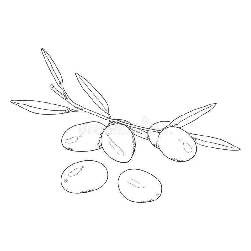 Olive di schizzo di vettore illustrazione di stock