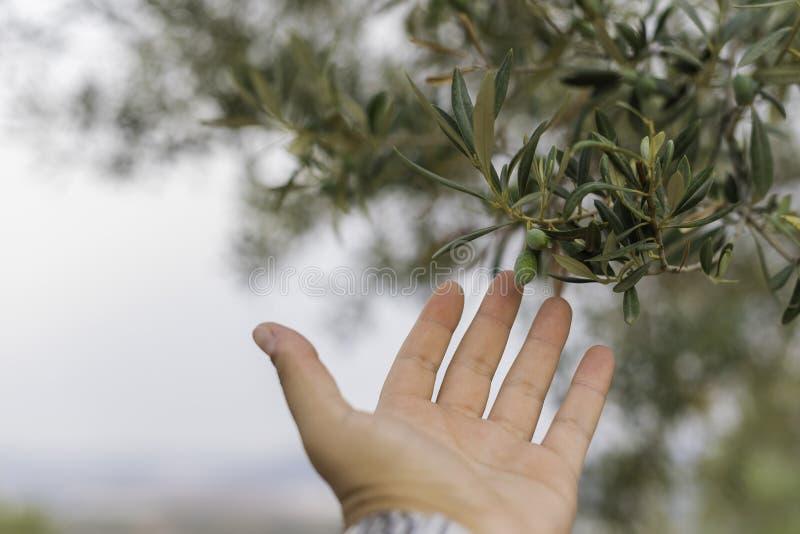 Olive in einem Olivenbaum stockbild