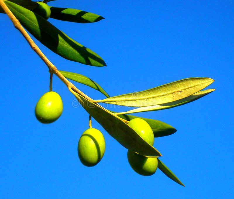 Olive en Dalmatie image stock
