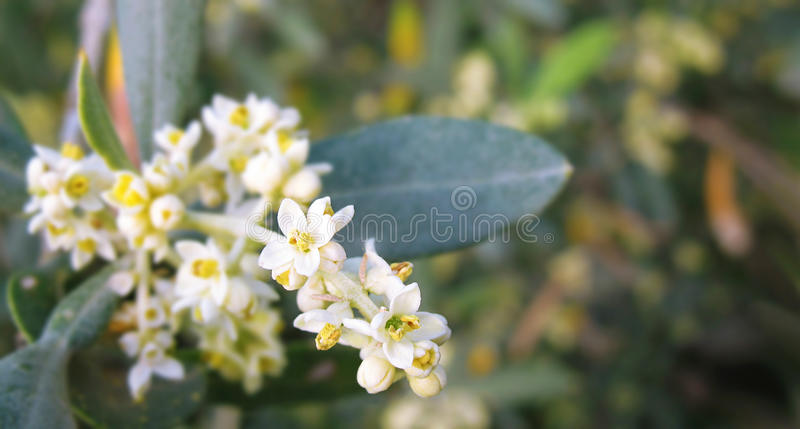 Olive Flowers royalty free stock images