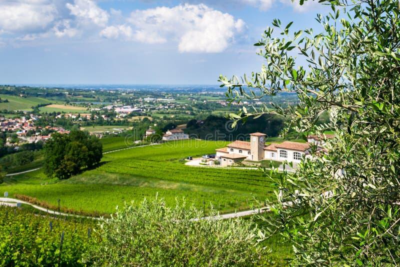 Olive Forlì Vitigno e lizenzfreies stockbild