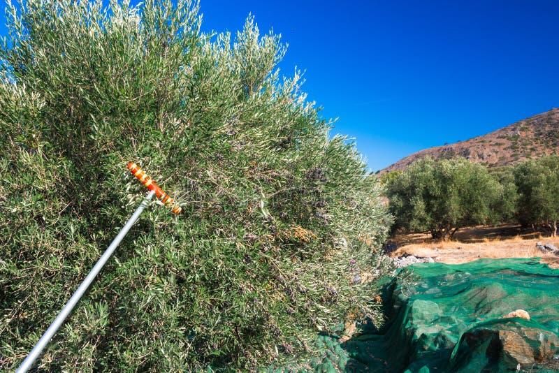 Olive fresche che raccolgono dagli agricoltori in un campo di di olivo per produzione di petrolio di olio d'oliva vergine extra immagini stock