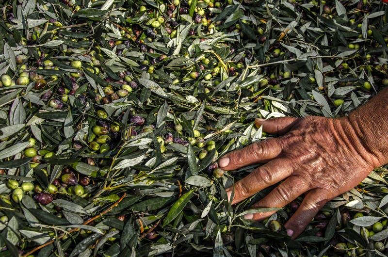 Olive fresche raccolte in sacchi fotografia stock