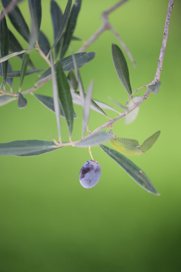 Olive Garden - olive branch. Olive Garden - single olive on a branch (shallow DoF stock photography
