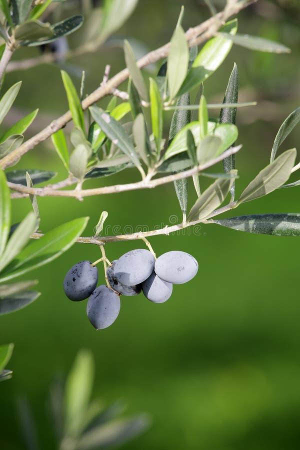 Olive Garden - olives on a branch. Olive Garden - olive branch (shallow DoF stock image