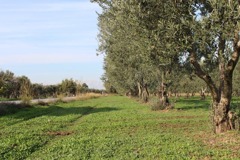 Olive gardens. Harvesting olive gardens in November stock photo