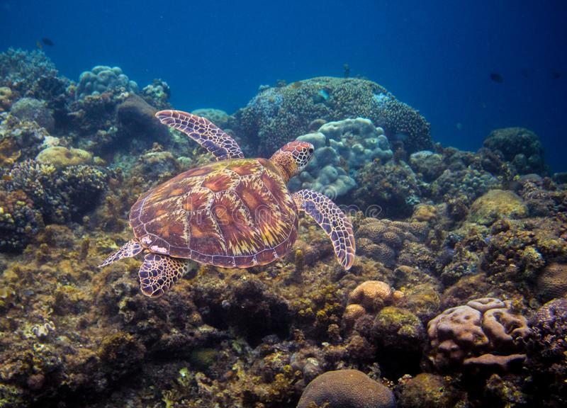 Olive green turtle swims above seabottom. Tropical island seashore nature. royalty free stock image