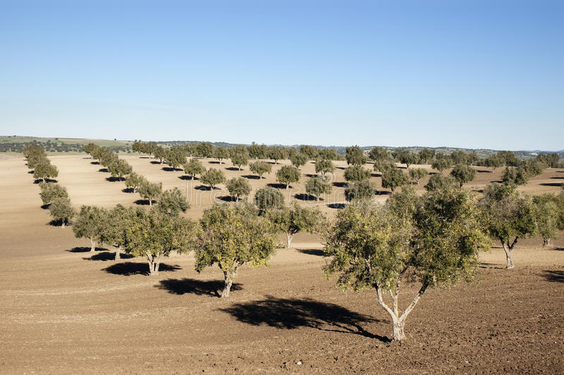 Olive grove. In the fields of Alentejo, Portugal royalty free stock image