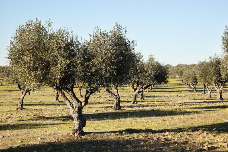 Olive grove. In the fields of Alentejo, Portugal royalty free stock photography
