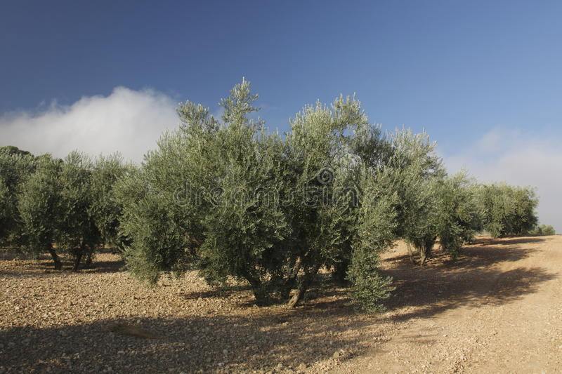 Olive grove. The olive grove near Buena, Andalusia, Spain royalty free stock images