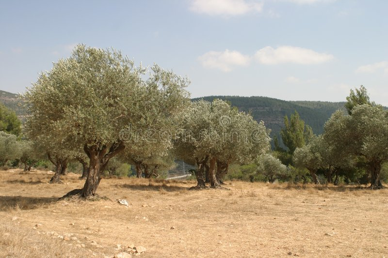 Olive grove royalty free stock photography