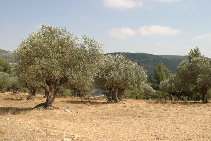 Olive grove. Near Jerusalem royalty free stock photography