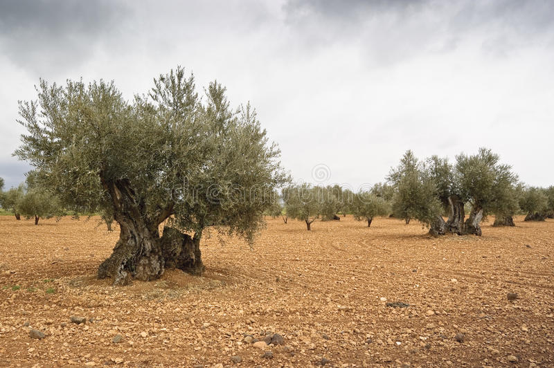 Olive grove. In Ciudad Real countryside (Spain royalty free stock photos