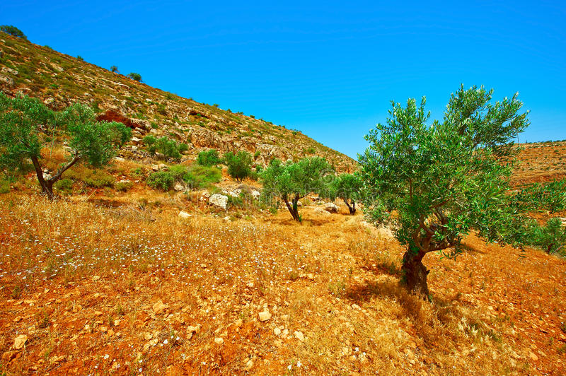 Olive Grove. On the Slopes of the Mountains of Samaria, Israel stock images