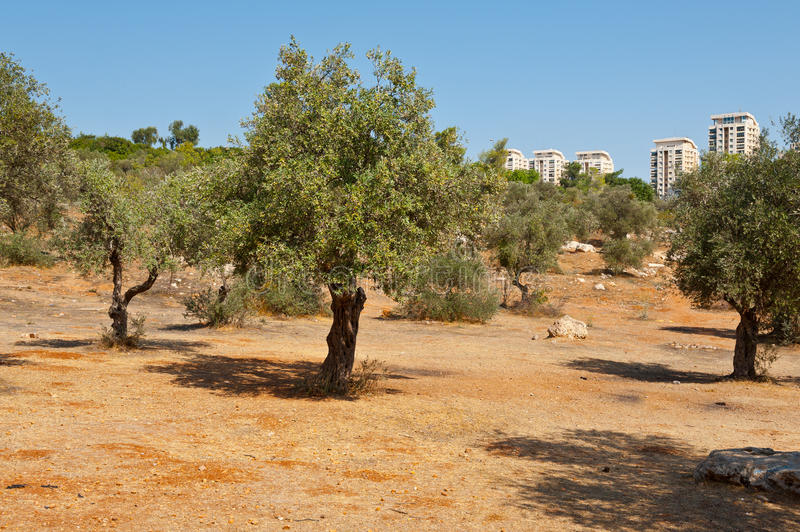 Olive Grove. View to Jerusalem from the Olive Grove in the Valley of the Cross royalty free stock image