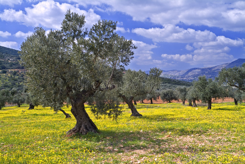Olive grove. Ancient olive grove in the Galilee, Israel stock photography
