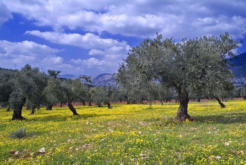 Olive grove stock photo