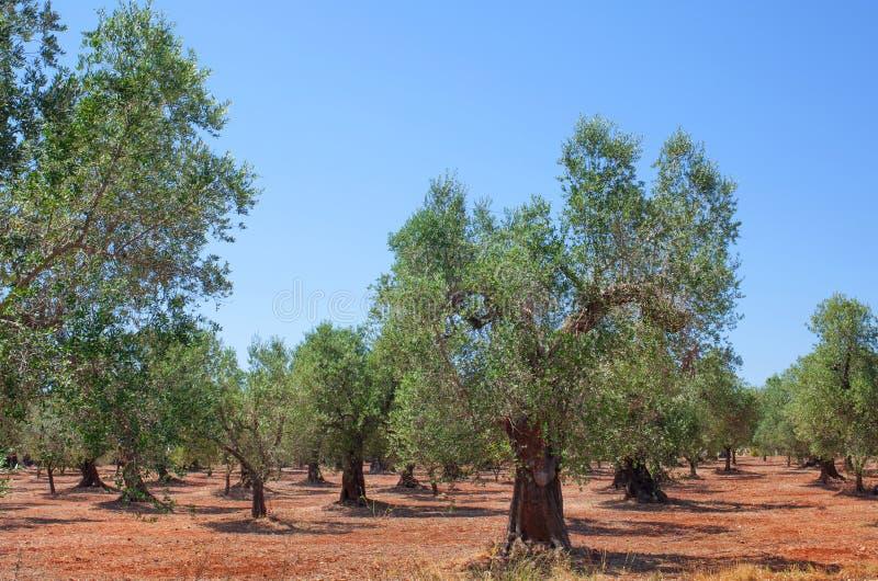 Olive Grove royalty-vrije stock afbeeldingen