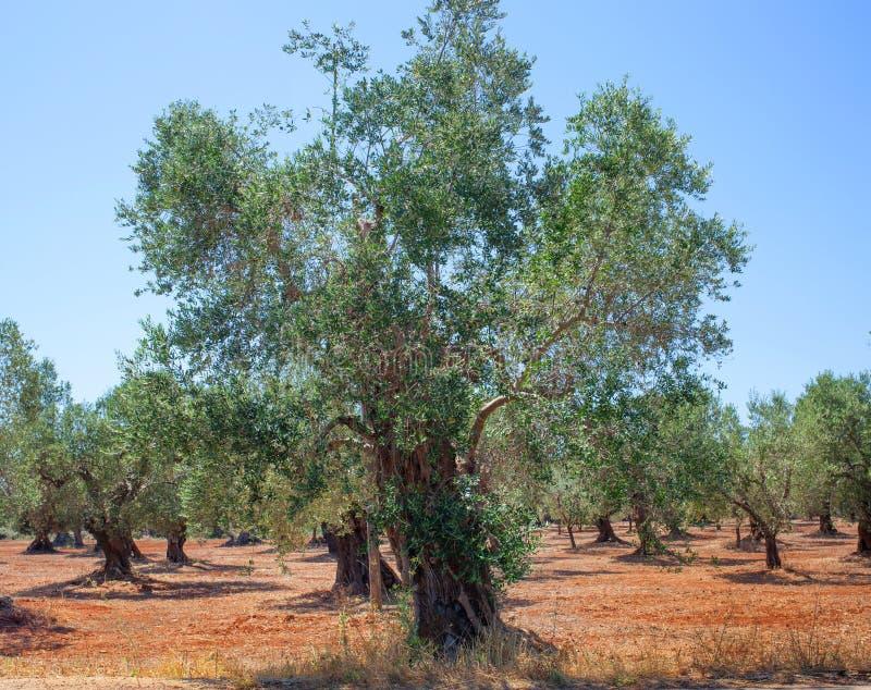Olive Grove royalty-vrije stock fotografie