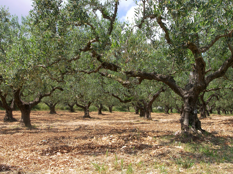 Olive grove. Picturesque image of an olive grove royalty free stock photo