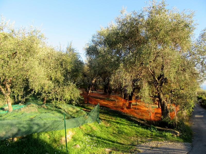Olive Grove photos stock