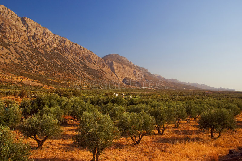 Olive grove. On the mountains stock image