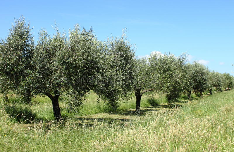Olive grove. Ancient olive grove in Tuscany, Italy stock photography