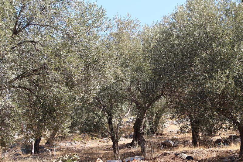 Olive Grove. A collection of olive trees in a grove laden with olive fruits in a hot dry Mediterranean climate stock image
