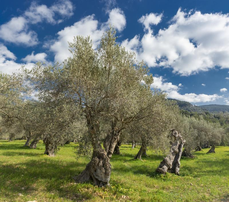 Olive grove on the island of Mallorca. In Spain, tree, landscape, agriculture, nature, majorca, old, field, green, rural, trees, background, natural, plant royalty free stock photo
