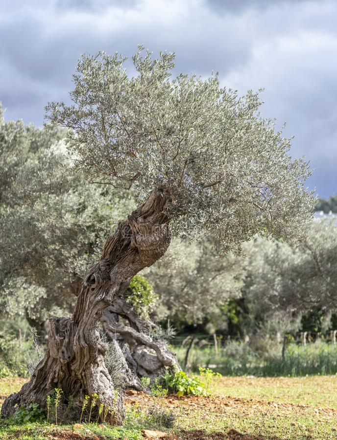 Olive grove on the island of Mallorca. In Spain royalty free stock image