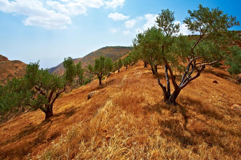 Olive grove in Israel. Olive grove on the slopes of the mountains of Samaria in Israel. Retro style, tree, palestine, agriculture, vintage, barren, beautiful stock photo