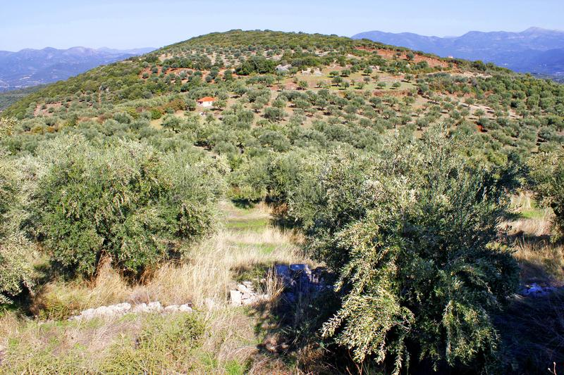 Olive grove in Kalamata, Greece. Olive grove with Koroneiki olives in Kalamata, Peloponnese, Greece royalty free stock image