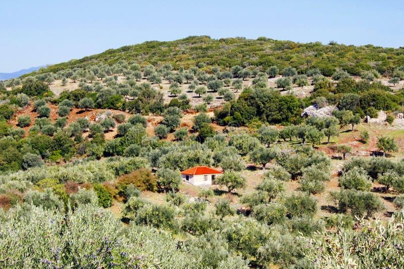 Olive grove in Kalamata, Greece. Olive grove with Koroneiki olives in Kalamata, Peloponnese, Greece stock photo