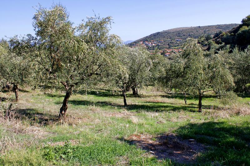 Olive grove in Kalamata, Greece. Small olive trees growing, olive grove in Kalamata, Peloponnese, Greece stock images