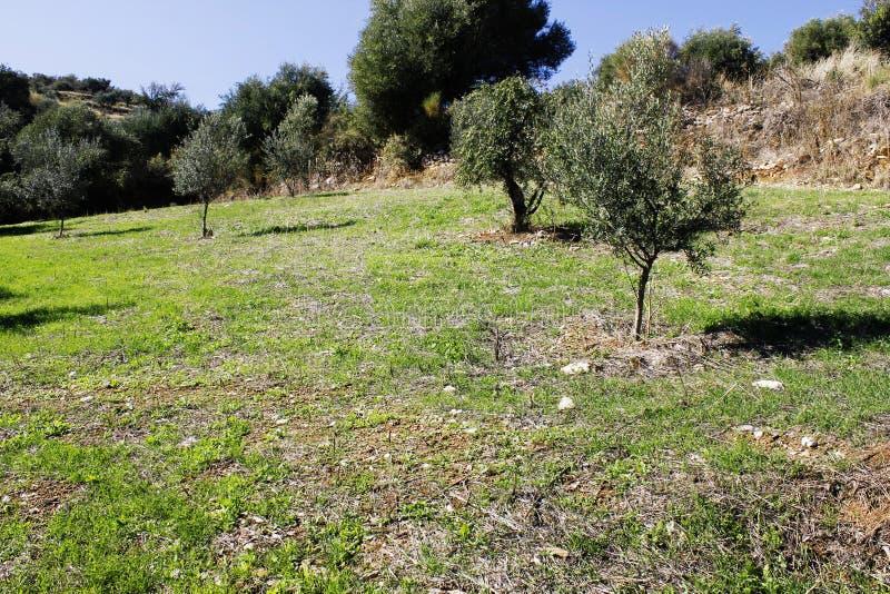 Olive grove in Kalamata, Peloponnese region. Olive grove in Kalamata, Peloponnese, southwestern Greece stock photos