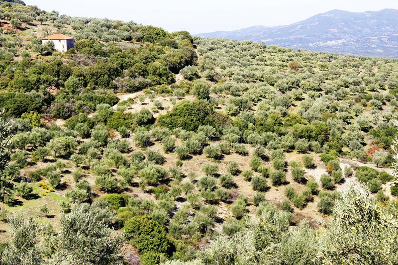 Olive grove with Koroneiki olives in Peloponnese, Greece. Koroneiki olives, olive grove in Kalamata, Peloponnese, Greece stock photo