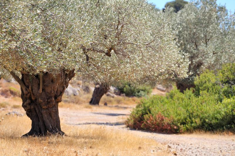 Olive grove at a landscape in Greece stock images