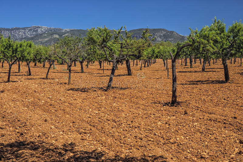 Olive Grove, Mallorca. Olive trees in Spring standing in a field of freshly tilled soil with the Serra de Tramuntana in the background royalty free stock photography