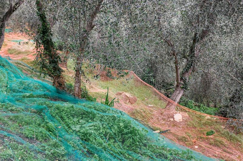 Olive grove with nets for harvesting olives, Ligurian mountains, Imperia, Italy stock image