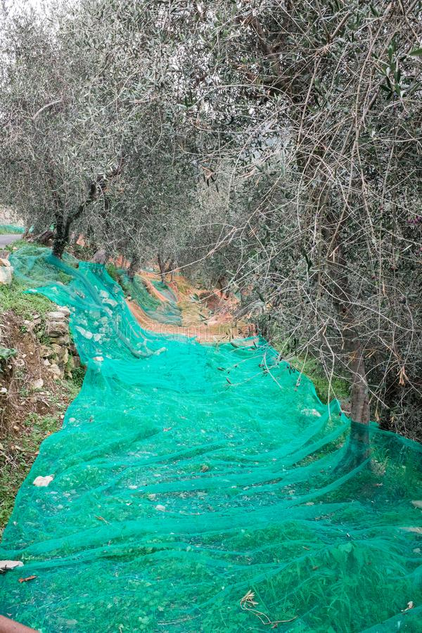 Olive grove with nets for harvesting olives, Ligurian mountains, Imperia, Italy royalty free stock image