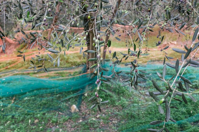 Olive grove with nets for harvesting olives, Ligurian mountains, Imperia, Italy stock images