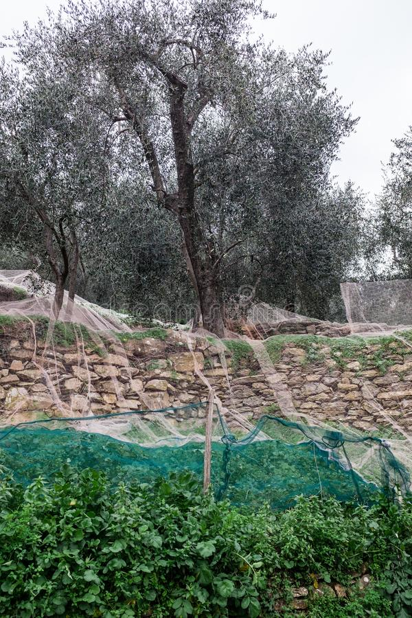 Olive grove with nets for harvesting olives, Ligurian mountains, Imperia, Italy stock photos