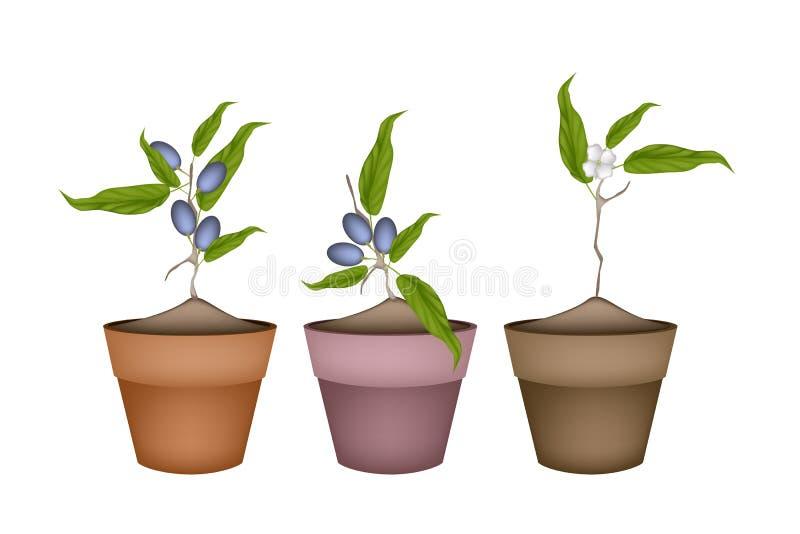 Olive Grove Plants in den keramischen Blumen-Töpfen stock abbildung