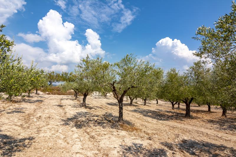 Olive grove on Rhodes island, Greece royalty free stock photos